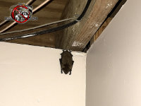 A bat hanging from under the floor joists near the sill plate in the basement of a house in Atlanta Georgia