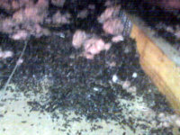 A pile of bat guano (bat poop) in an attic in Atlanta, Georgia