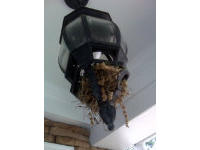 Birds' nest in a ceiling lamp on a porch in Marietta, Geogia