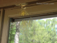 Carpenter bee hole and stains over a window in Peachtree City