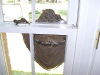 View through a window at a hornets' nest attached to the window