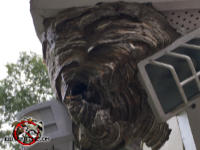 Hornets nest hanging from the soffit and built around a light fixture at a house in Atlanta.