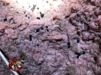 Insulation contaminated with animal droppings in the attic of a house in Fayetteville Georgia