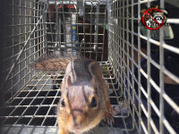 Chipmunk in a cage trap after having been removed from inside a wall void at a house in Atlanta Georgia