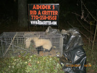 A skunk in a trap after being removed from the grounds of an Atlanta, Georgia hotel