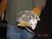 Opossum in a technician's gloved hand after being removed from Mableton, Georgia