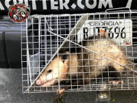An possum in a cage behind the tailgate of a pickup truck after being removed from a house in Atlanta