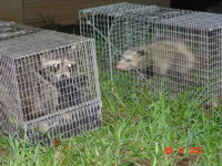 A possum and a raccoon in traps in Sandy Springs