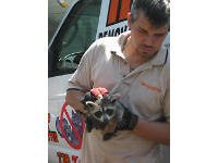 Raccoon control man with young raccoon in his hands