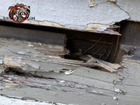 Raccoon tore a hole through the wooden siding of a house in Atlanta