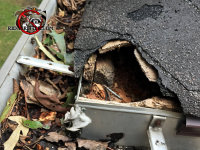 Raccoon enlarged a squirrel hole in the roof of a house in Atlanta to make it big enough for itself to get through