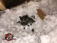 Pile of raccoon droppings in the insulation of the attic of a house in Atlanta Georgia