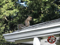 Squirrel in an upright position on the roof of a house in Atlanta nibbling on a nut or seed