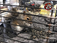 Young squirrel in a cage eating sunflower seeds while awaiting reunification and release with its mother and siblings