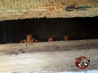 Three paper wasps peeking through a gap under the sheathing of the roof of a house in Stone Mountain Georgia