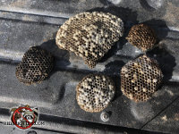 Several paper wasps nests on the tailgate of a pickup truck after being removed from a house in Atlanta