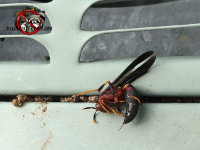 A paper wasp, Polisted annularis, on a vent louver in an Atlanta home