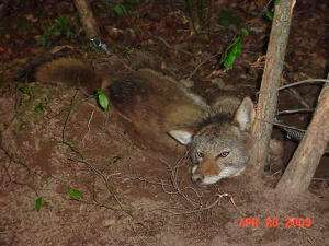 Coyote in a trap after being captured in Macon, Georgia