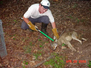 Coyote control expert live-trapping a coyote in Lithia Springs, Georgia