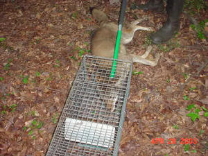 Coyote in a trap after being captured in Roswell, Georgia