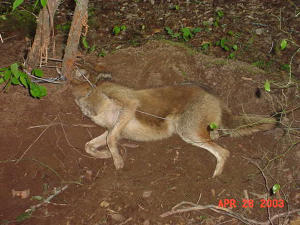 Coyote trapped in Sandy Springs, Georgia