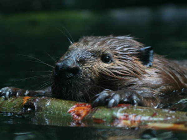 Beaver swimming in water carrying a branch