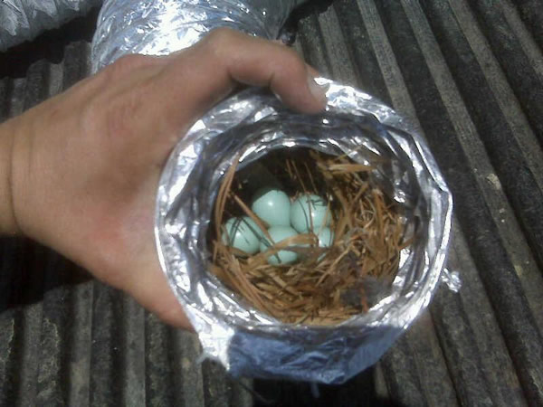 Bird's built a nest in a dryer vent hose in Atlanta
