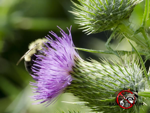 Carpenter bee on a milk thistle flower. (Photo by Webmaster)
