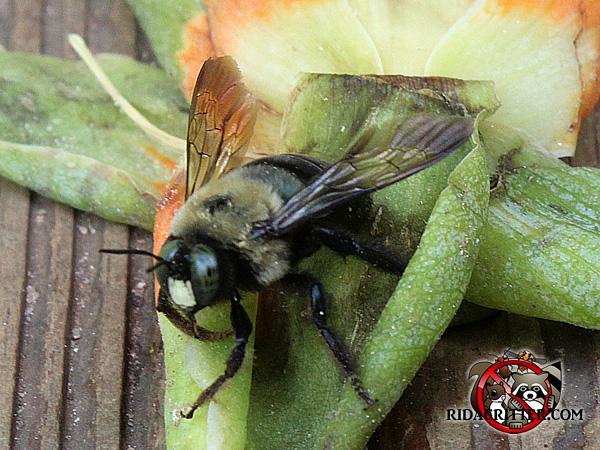 Carpenter Bee Removal And Damage Repair In Atlanta