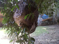 Baldfaced hornets nest in a tree in Atlanta