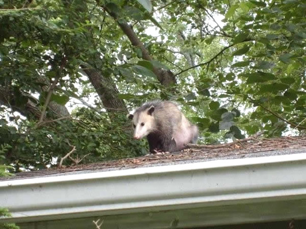 Opossum on a roof in Decatur after being sealed out of the house