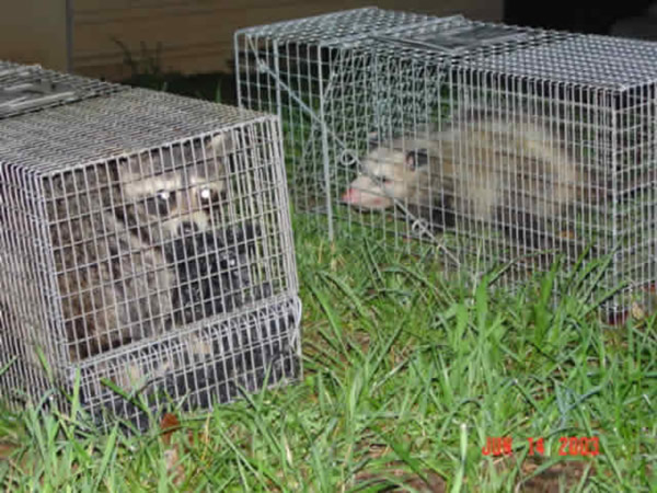 Possum and raccoon removed from a house in Sandy Springs.