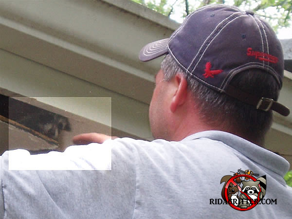 Orphaned juvenile raccoons being rescued from a house in Atlanta