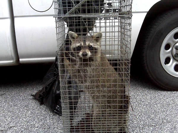 Young raccoon removed from a house in Marietta