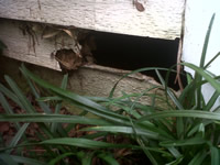 Raccoon hole near the ground going into a house in Atlanta